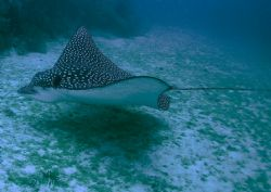 Eagle Ray, Florida - Nikon Coolpix 5000 Tetra Housing by Kent Bonde 